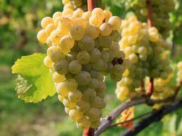 Sauvignon blanc (Credit:  winepro.org)